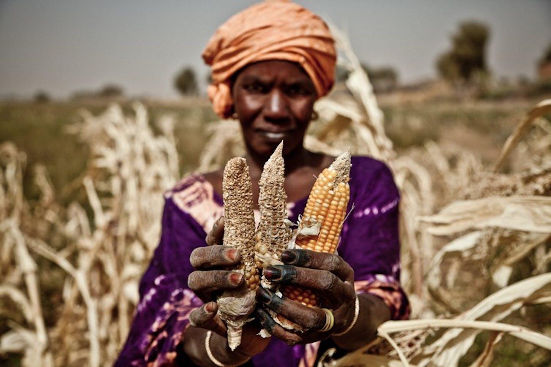 failing corn yields