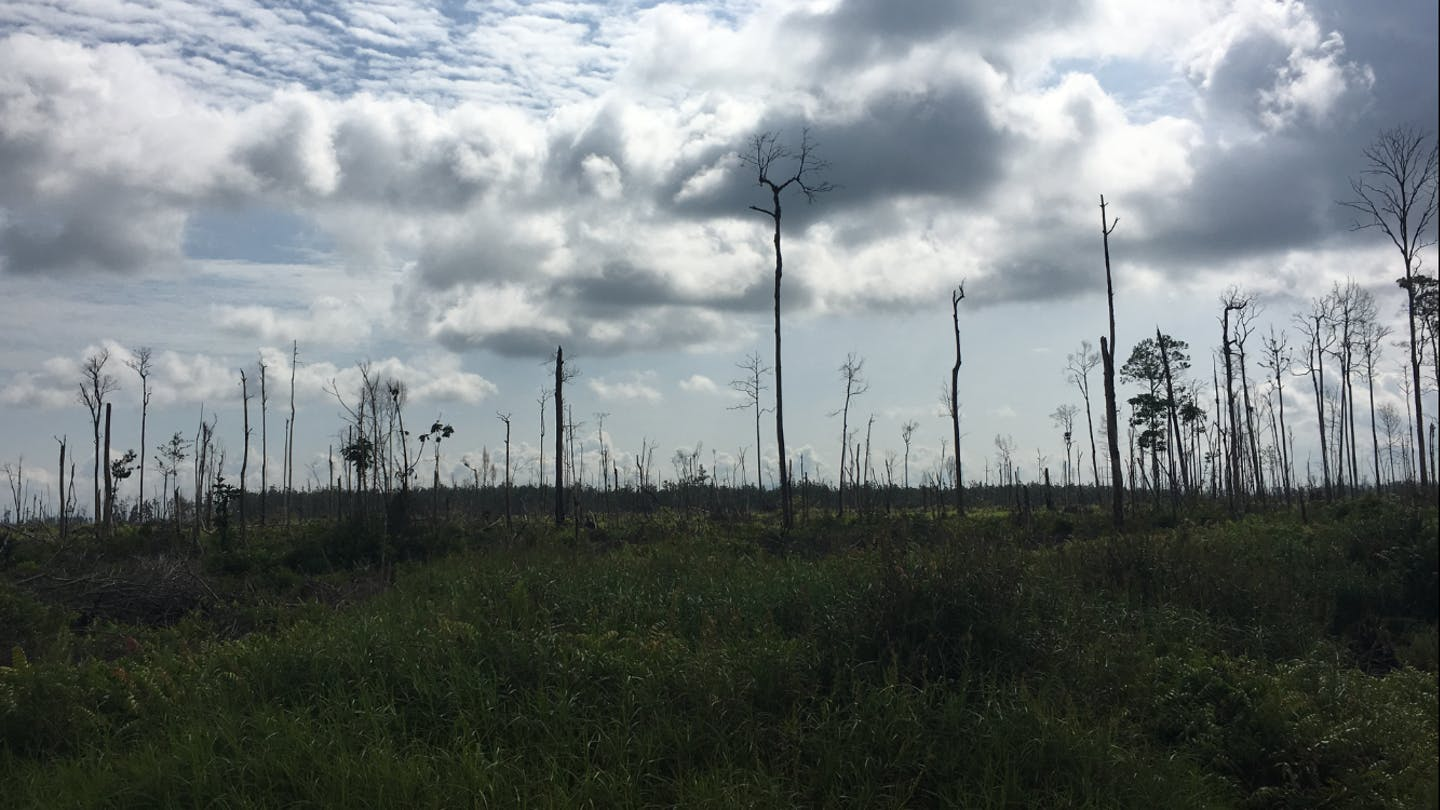 A peat forest stands naked 18 months after it was burnt to clear land. The forest is located in the concession of Golden Agri Resources, and was set aside for conservation. GAR plans to restore the forest, which will take 25-30 years. Image: Eco-Business