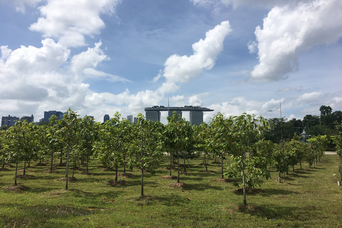 A grove of trees growing on Marina Barrage, Singapore, with the iconic Marina Bay Sands in the background. Image: Eco-Business