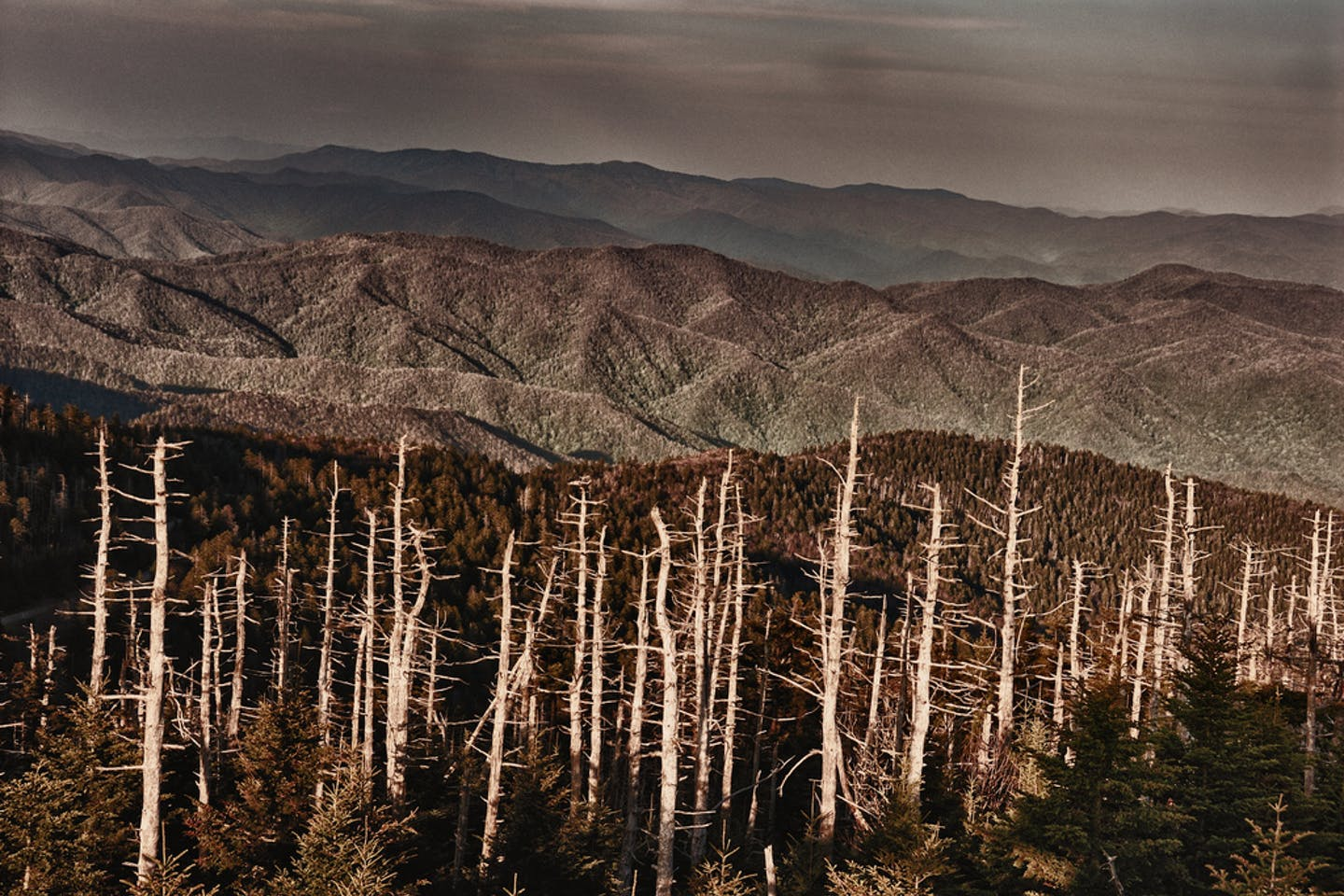 Trees made bare by acid rain in Smokey Mountain National Park, USA