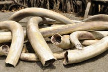 Why is Singapore so slow to ban ivory?
