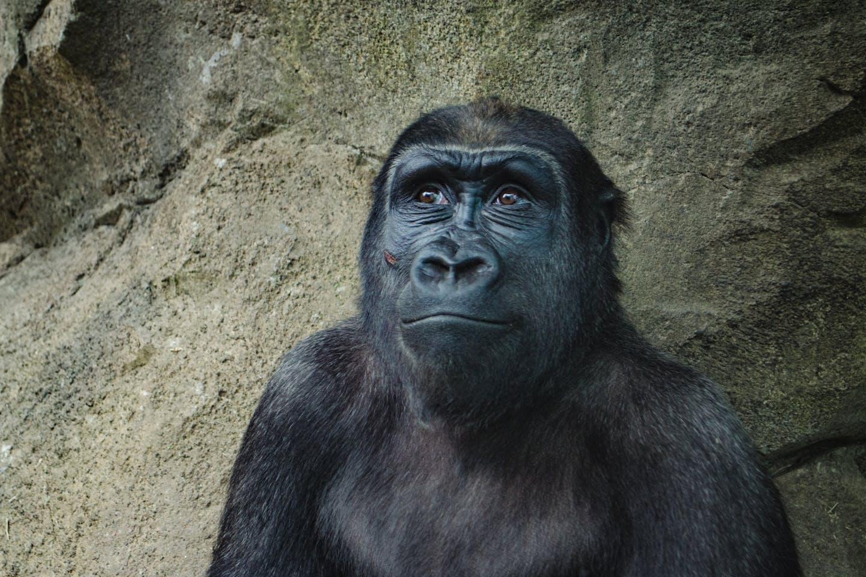 hope for gorillas