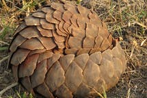China declares no more pangolin scales in traditional medicine