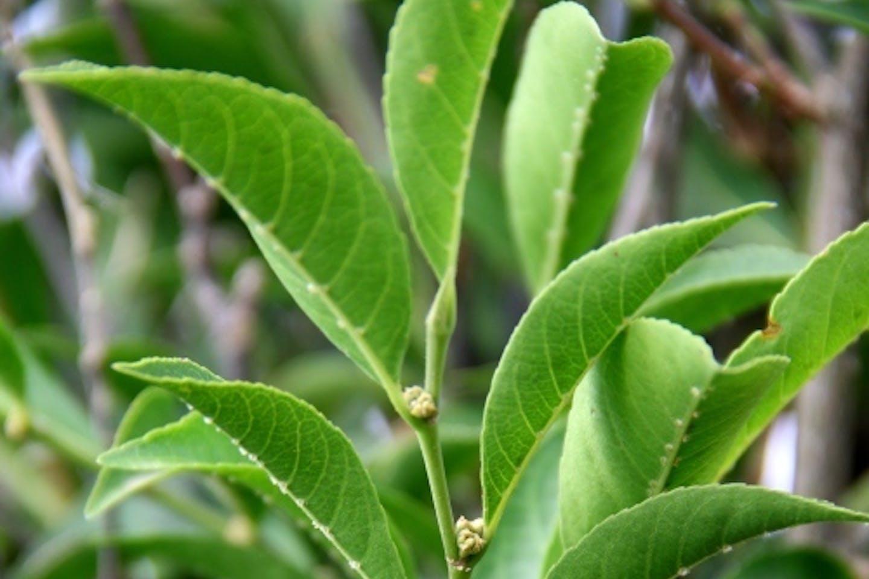 nickel eating plant