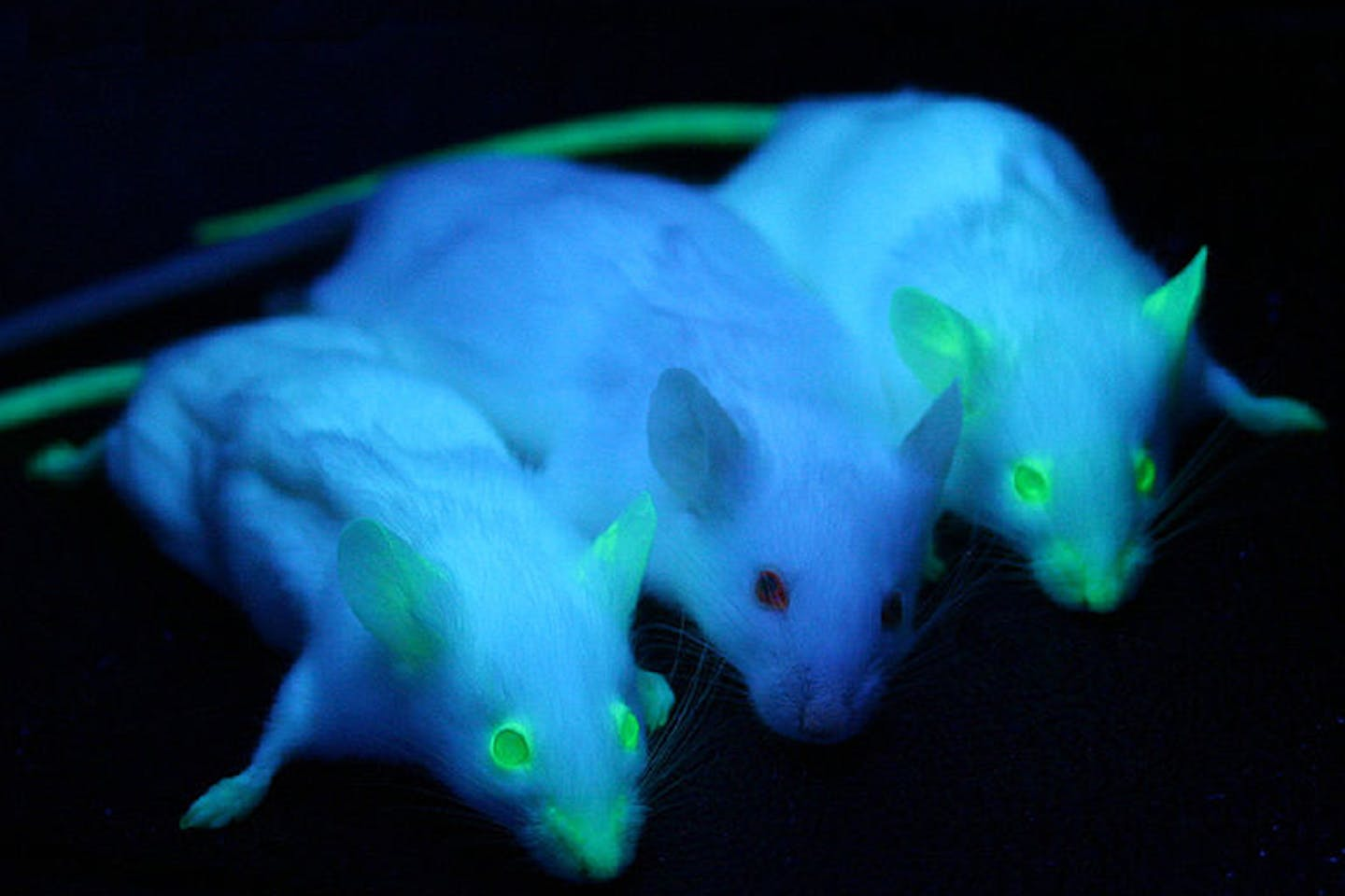 genetically modified mice