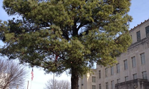 Tree resin could replace oil and gas in household products