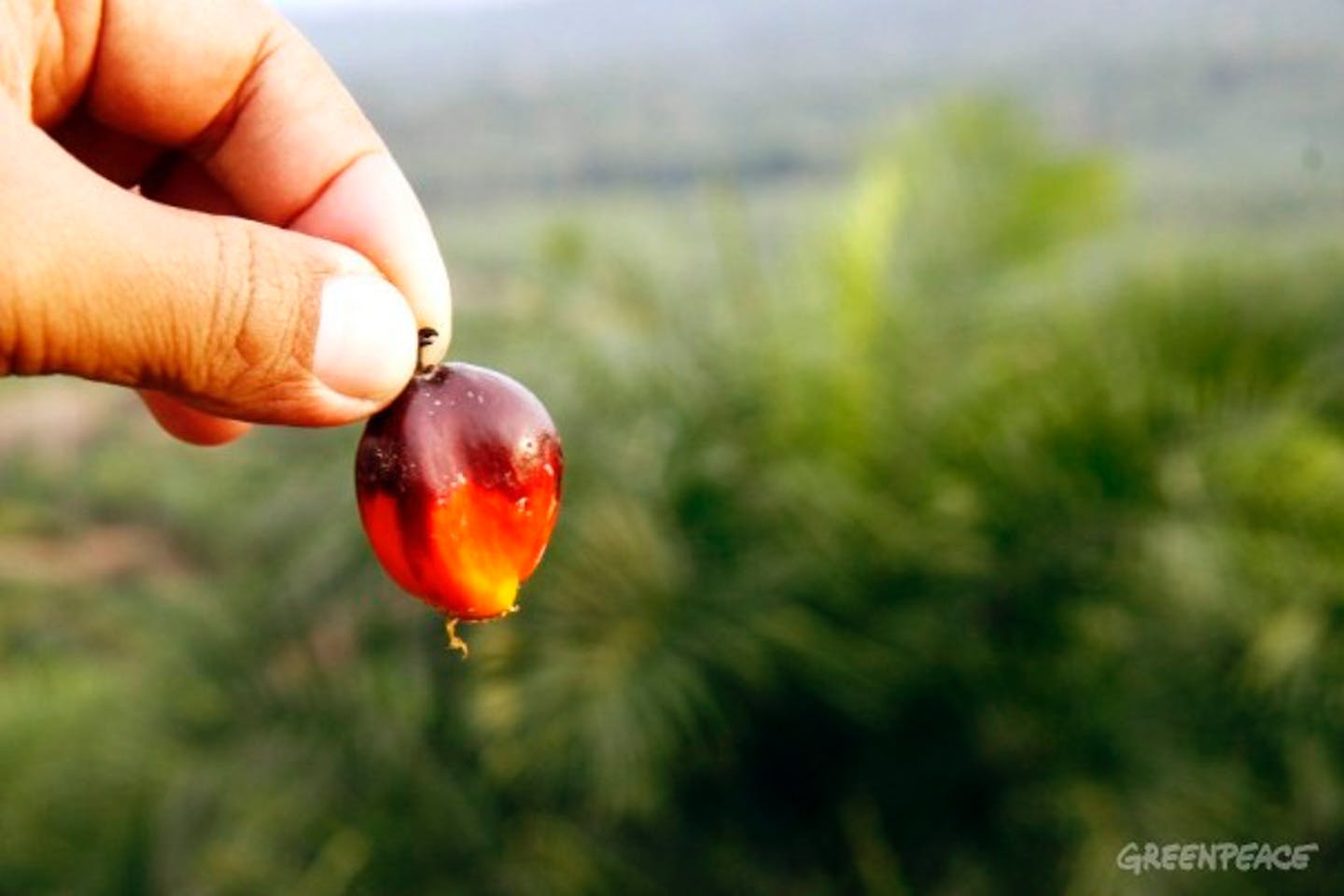 Greenpeace Indonesia palm oil