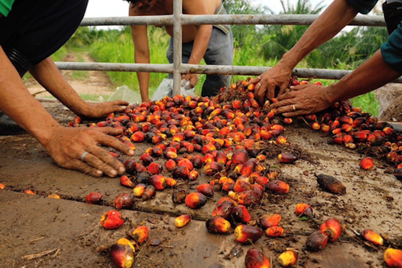 palm oil fruit bunch in truck