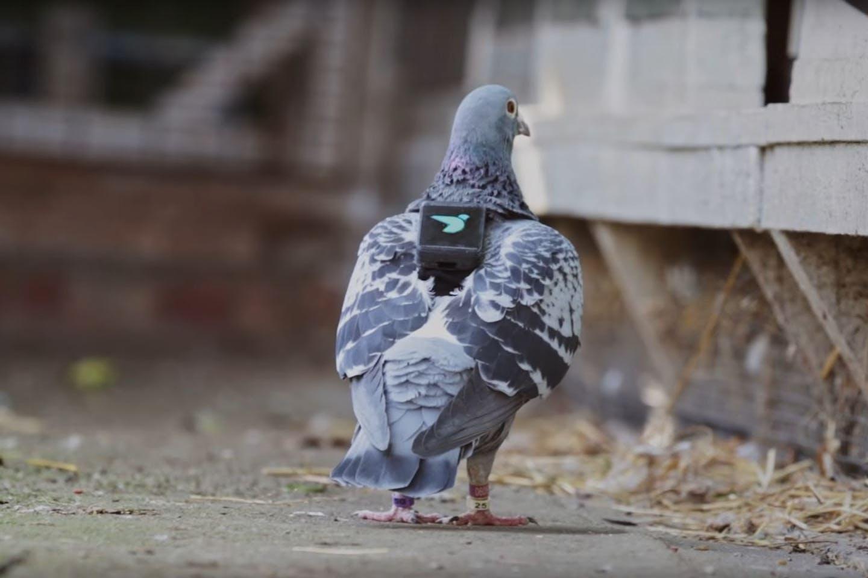 air patrol pigeon