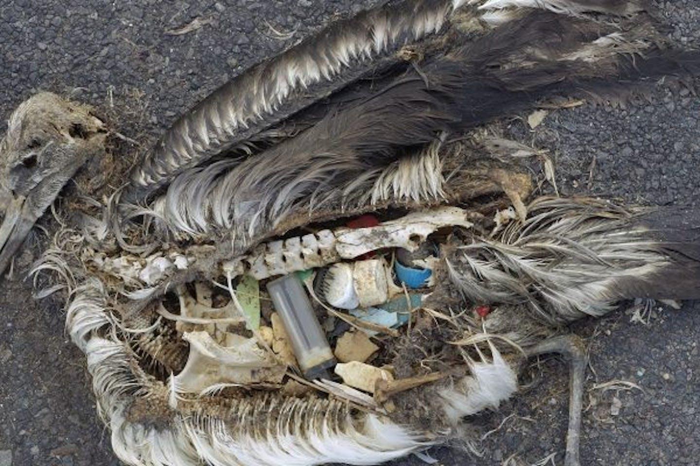 albatross chick eats tons of plastics