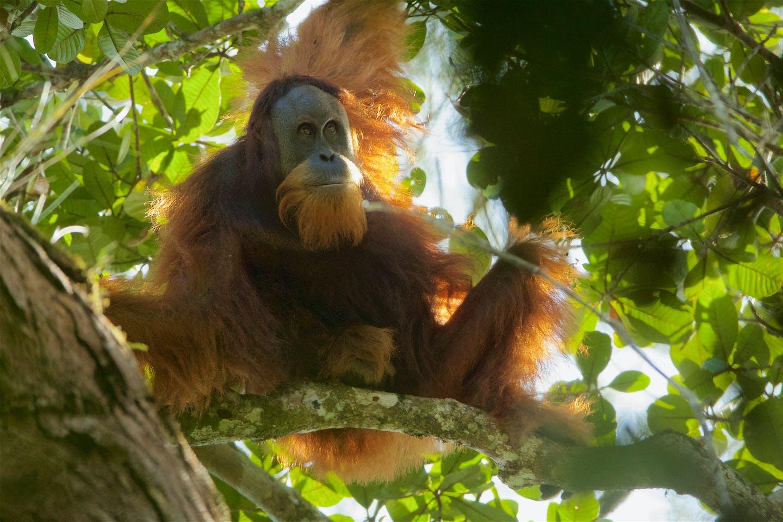 Tapanuli Orangutan2
