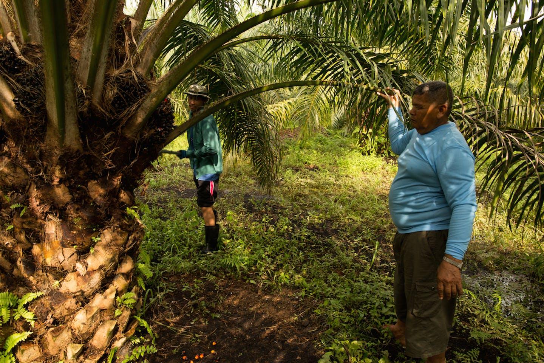 preecha smallholder oil palm farmer in Thailand