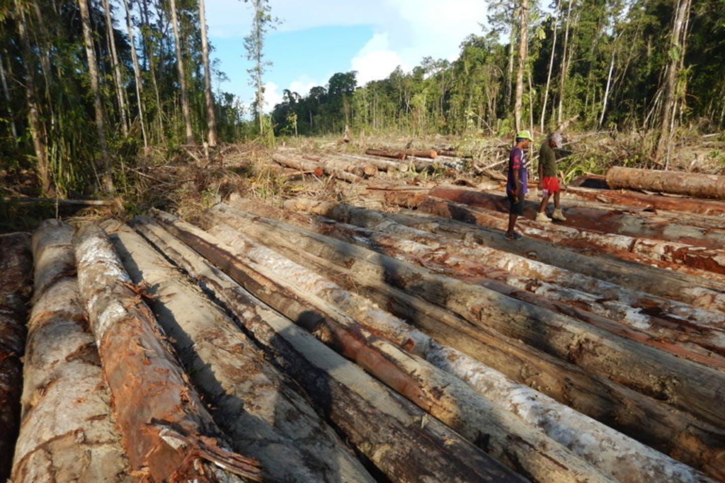 felled logs in PNG province