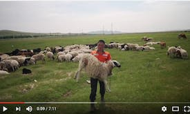 Shear innovation: How sheep wool insulation is keeping Mongolians warm