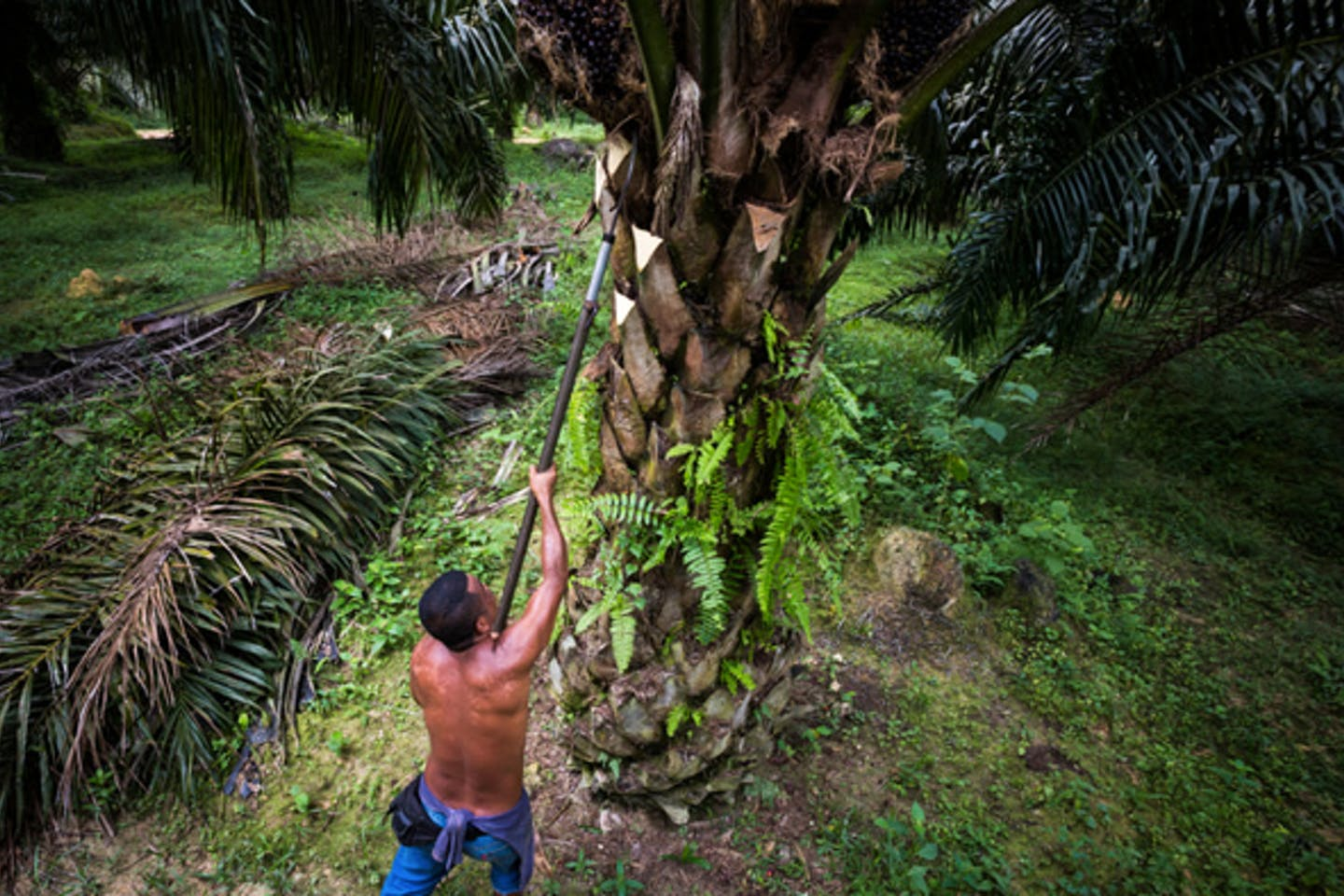 palm oil harvesting in Malaysia