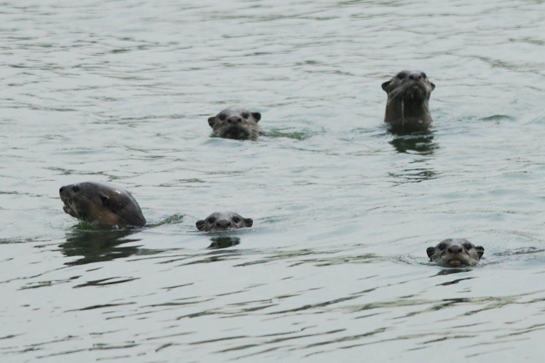 otters singapore