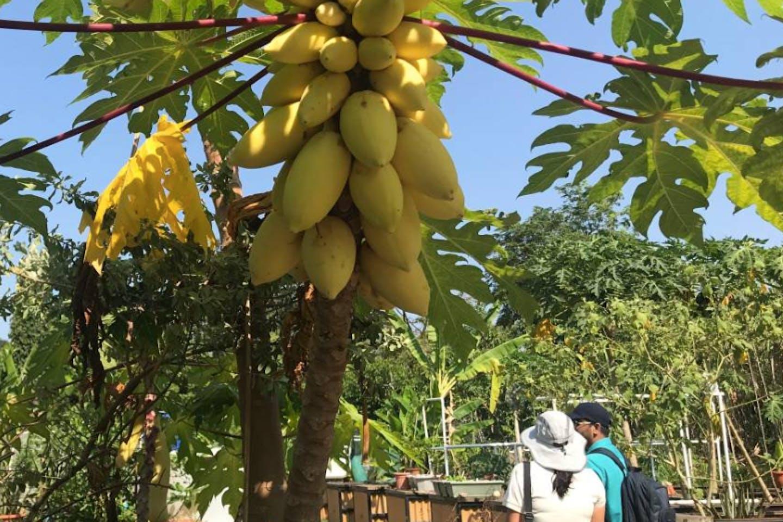 papaya plant singapore urban farming
