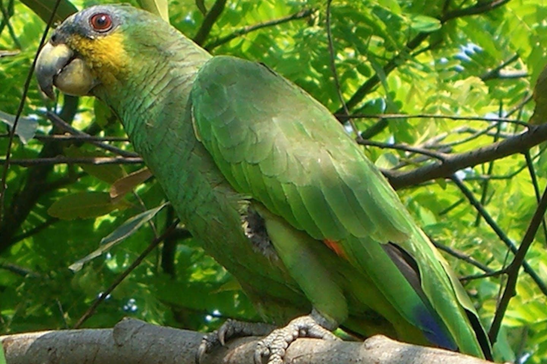 Hispaniolan amazon parrot