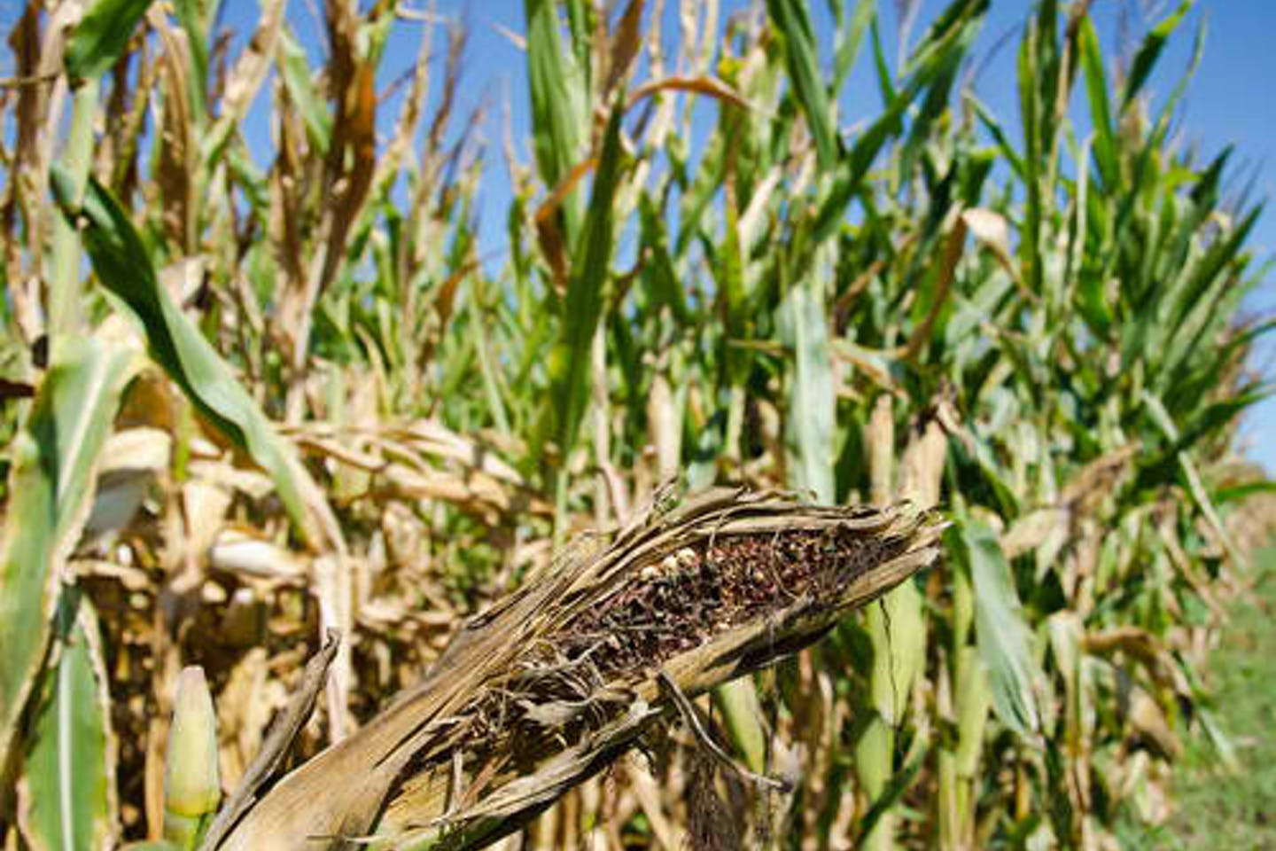 damaged cornfield midwest