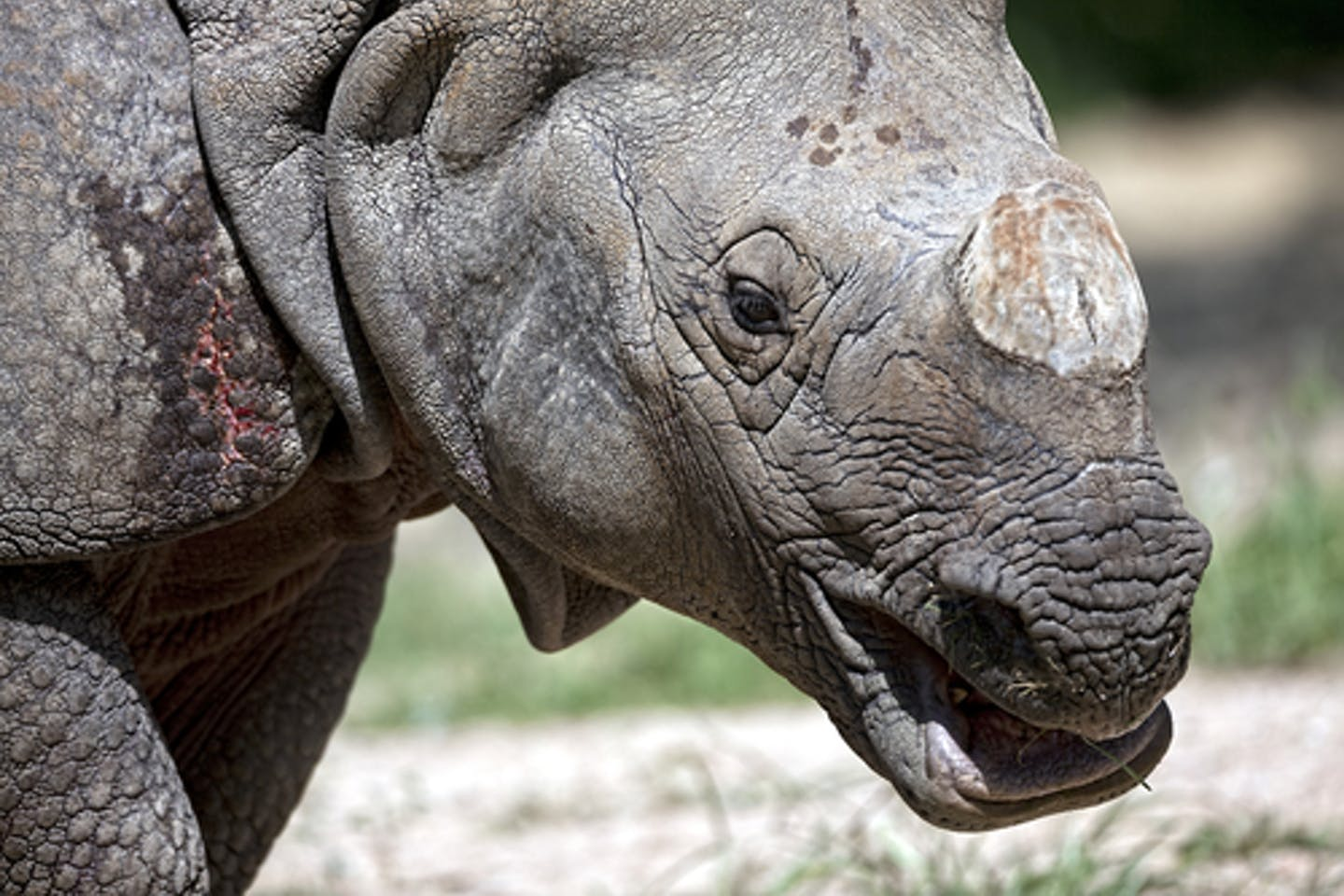 Rhinoceros without a horn
