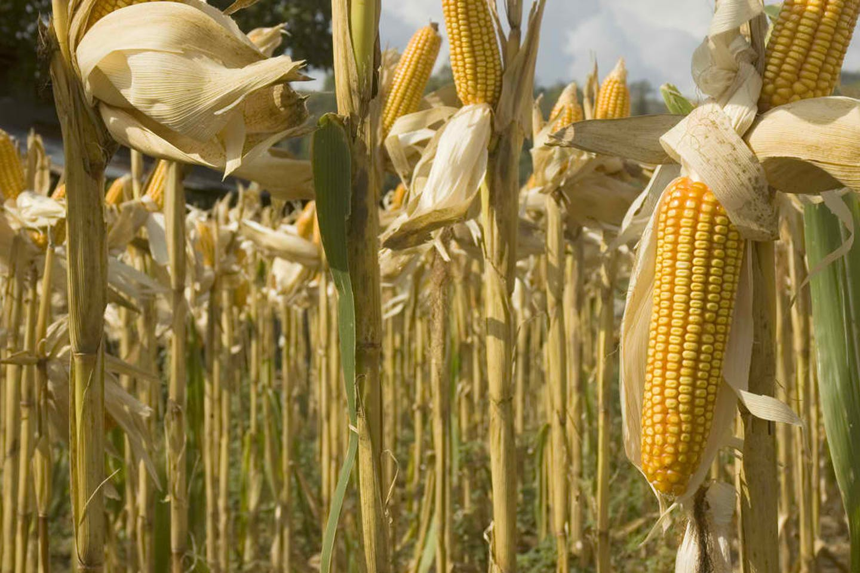 yellow corn ilocos