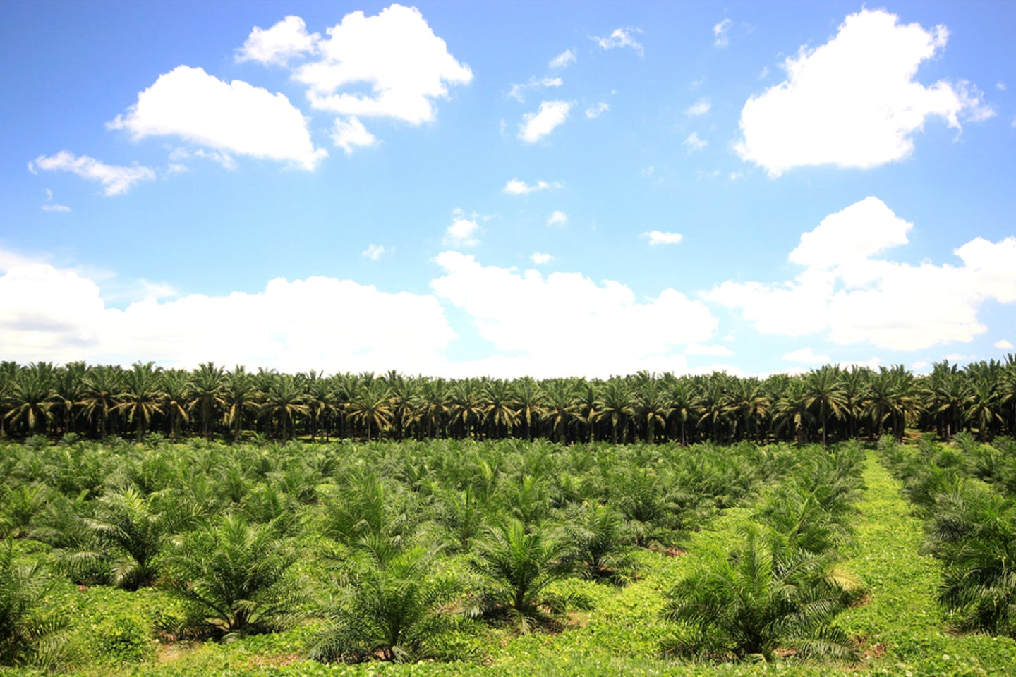 palm oil plantation with blue skies