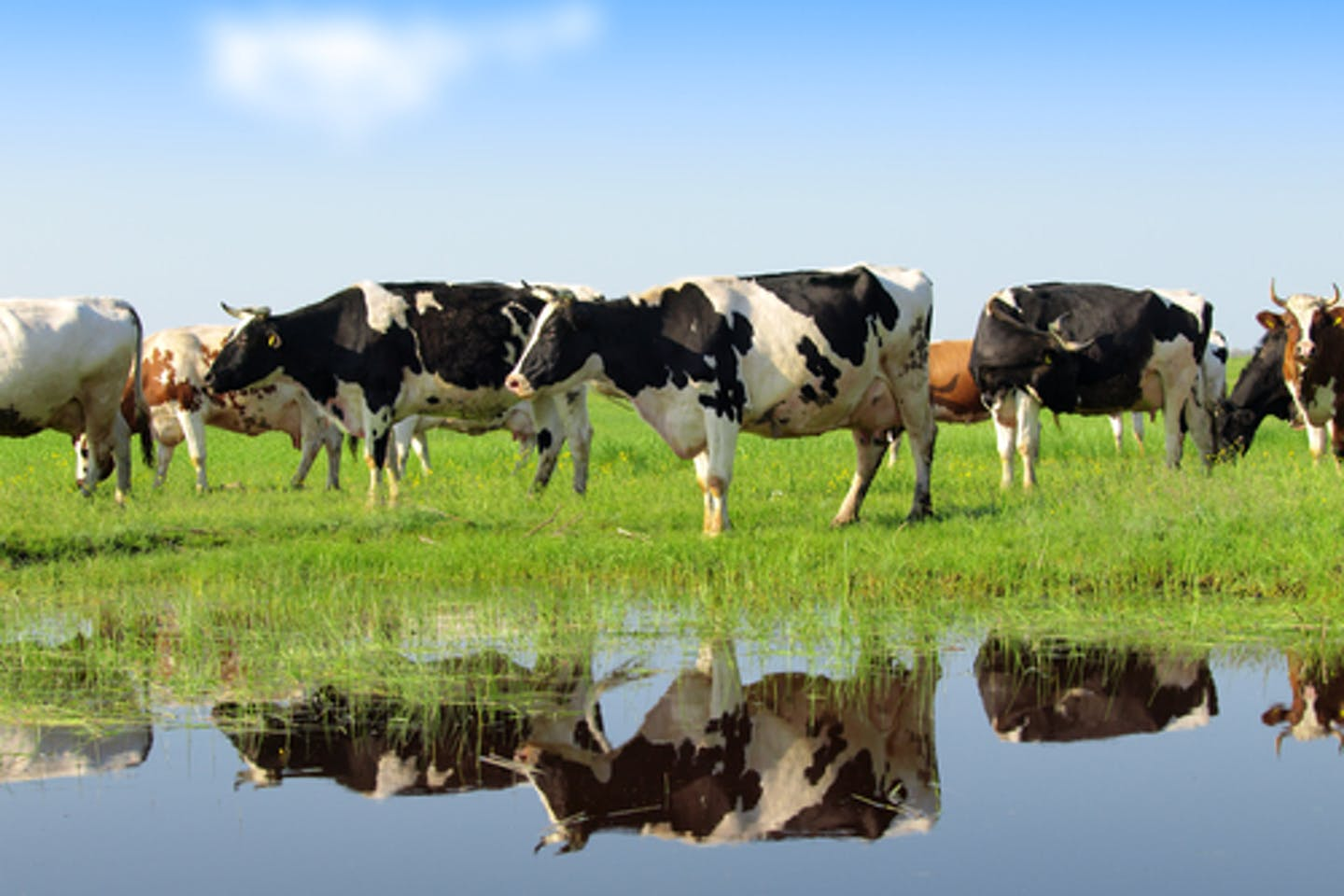 cattle dairy chatham study