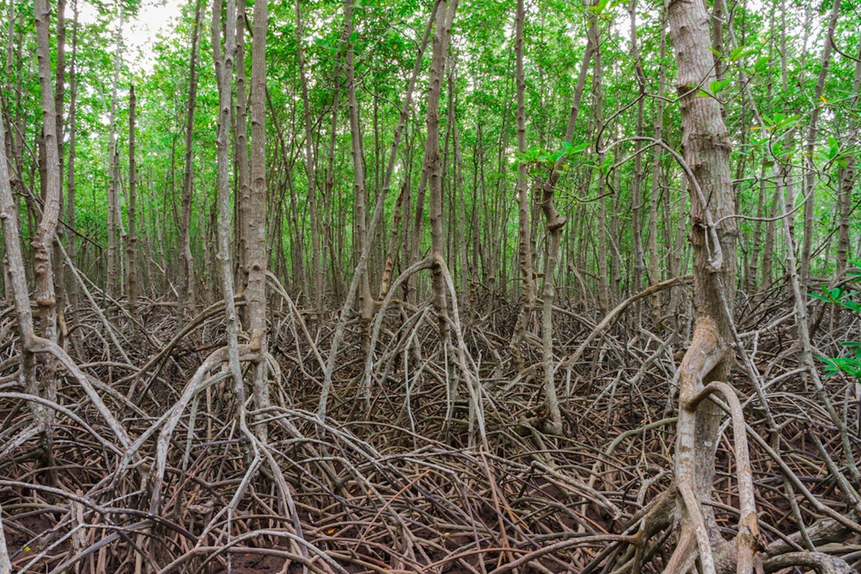 indonesia mangrove2