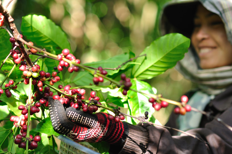 coffee farmer laos