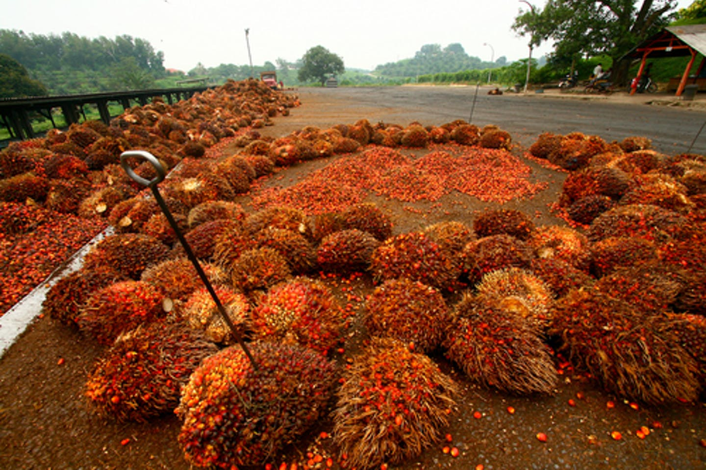 palm oil fruit bunches