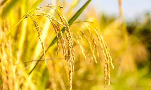A clear case for golden rice