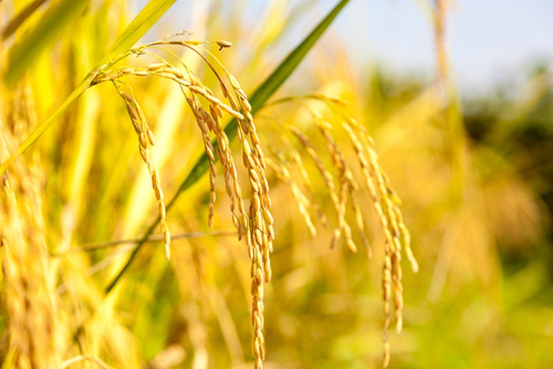 Golden rice GMO