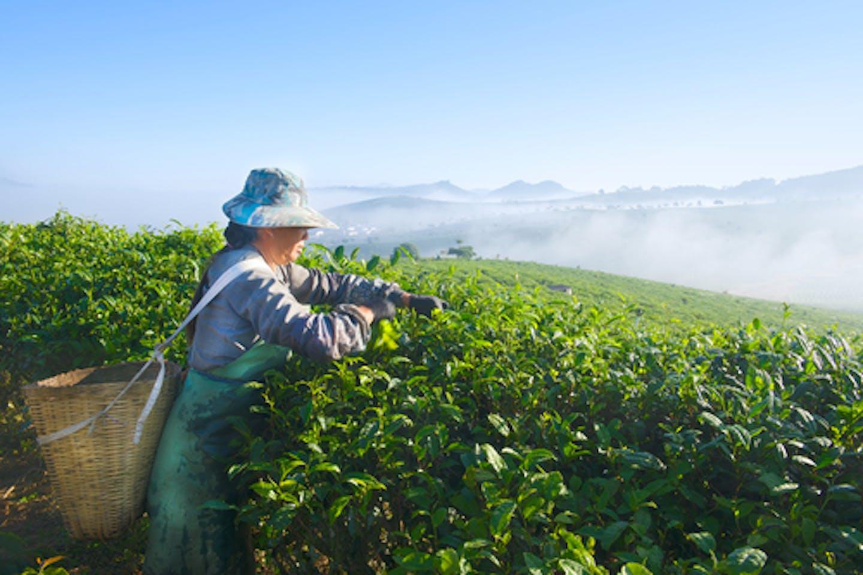 Tea Yunnan China quality