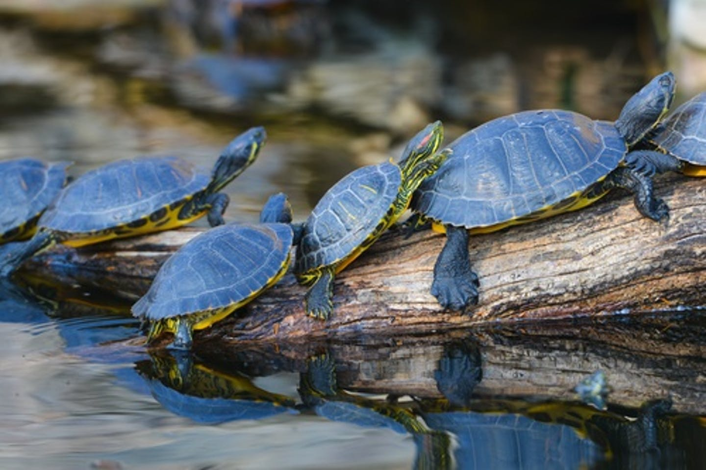 turtles ectotherms