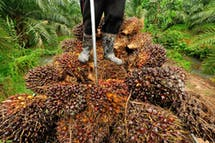 How committed are companies to sustainable palm oil?