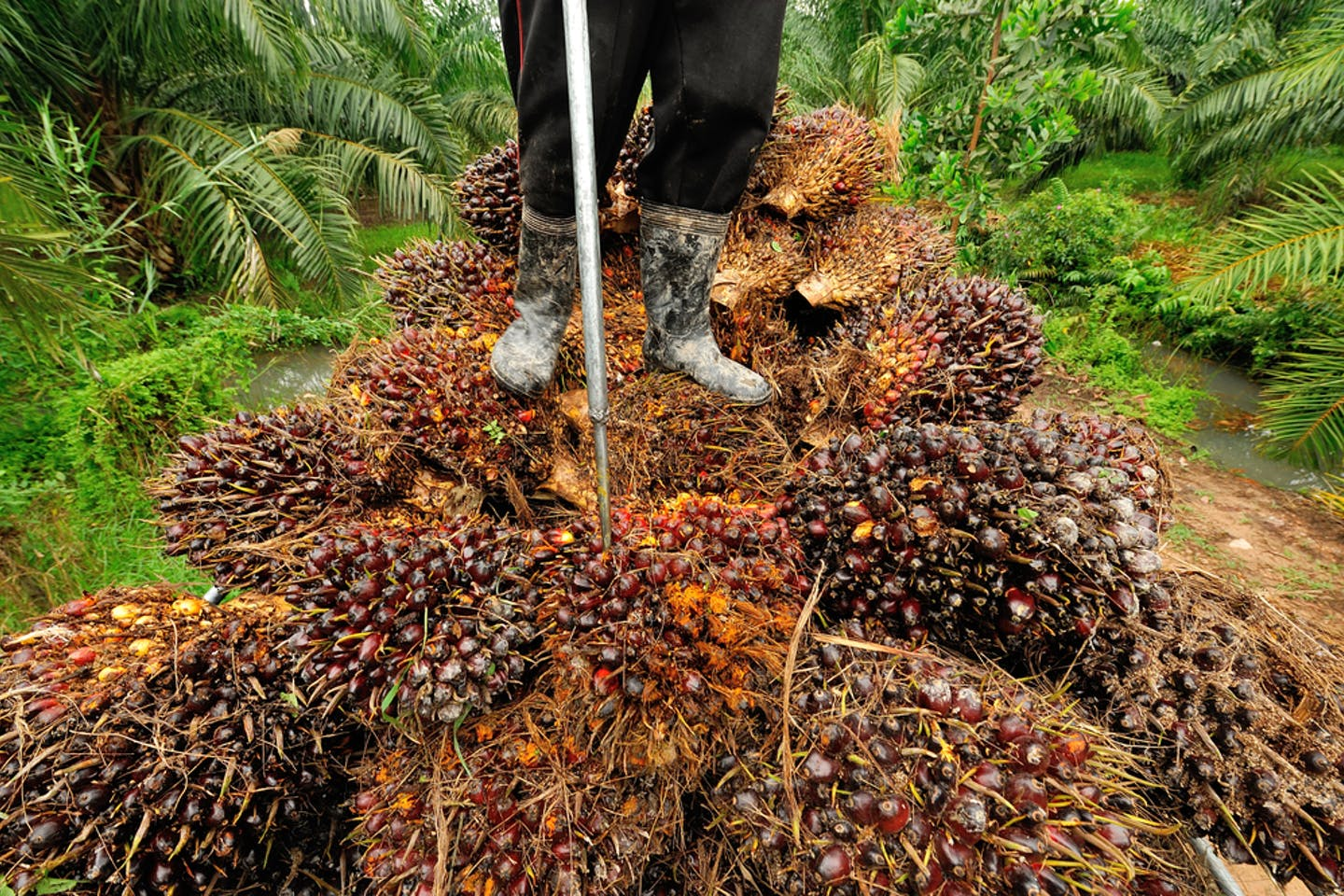 palm oil harvest thailand
