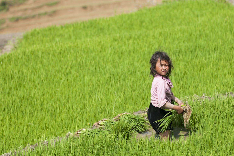 girl rice padi field vietnam