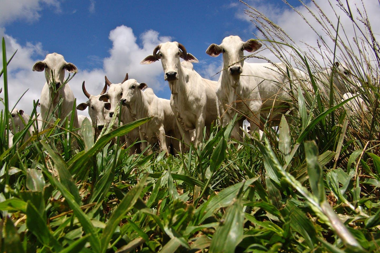 cattle farm sao paulo