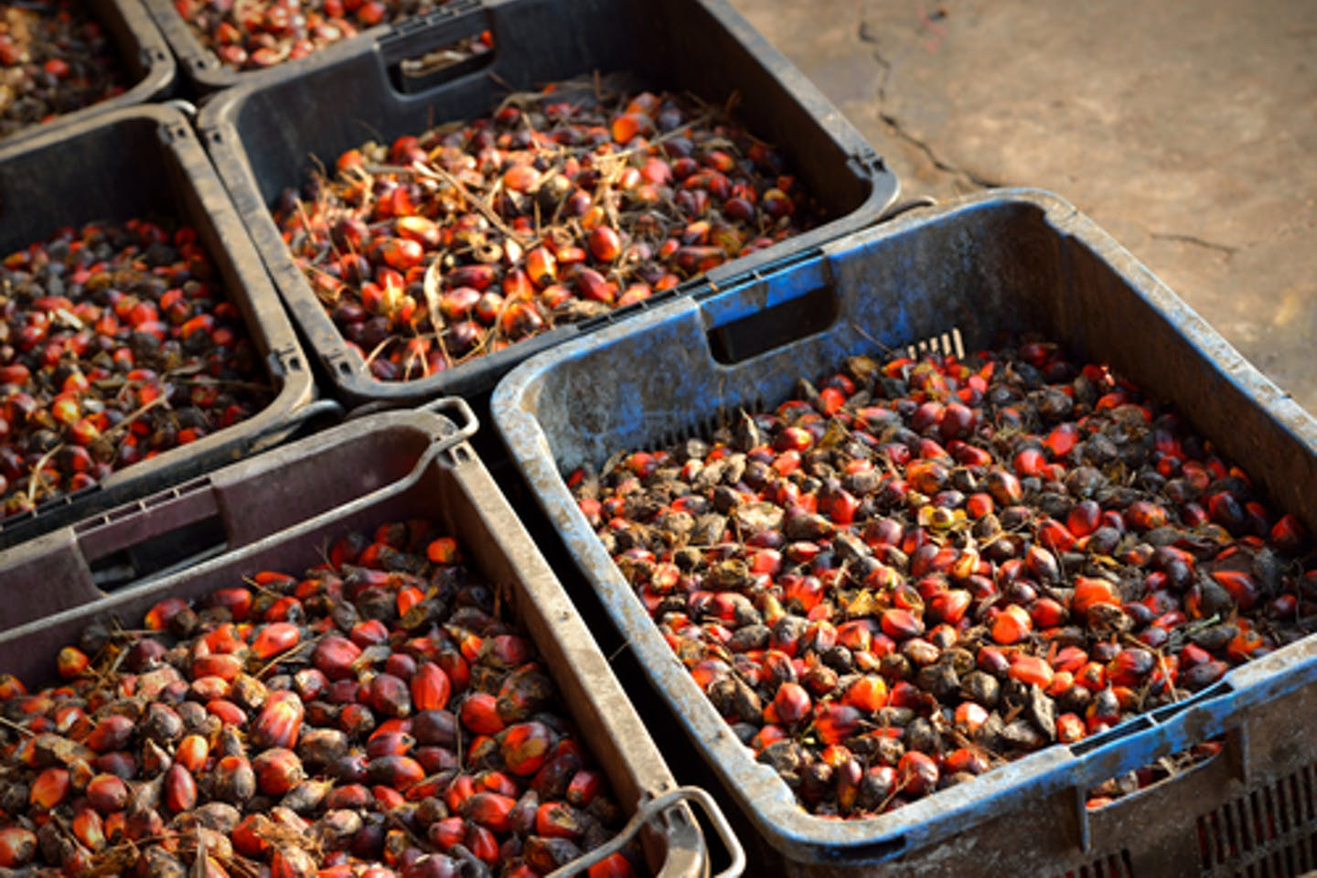 plam oil fruit bunches in crates