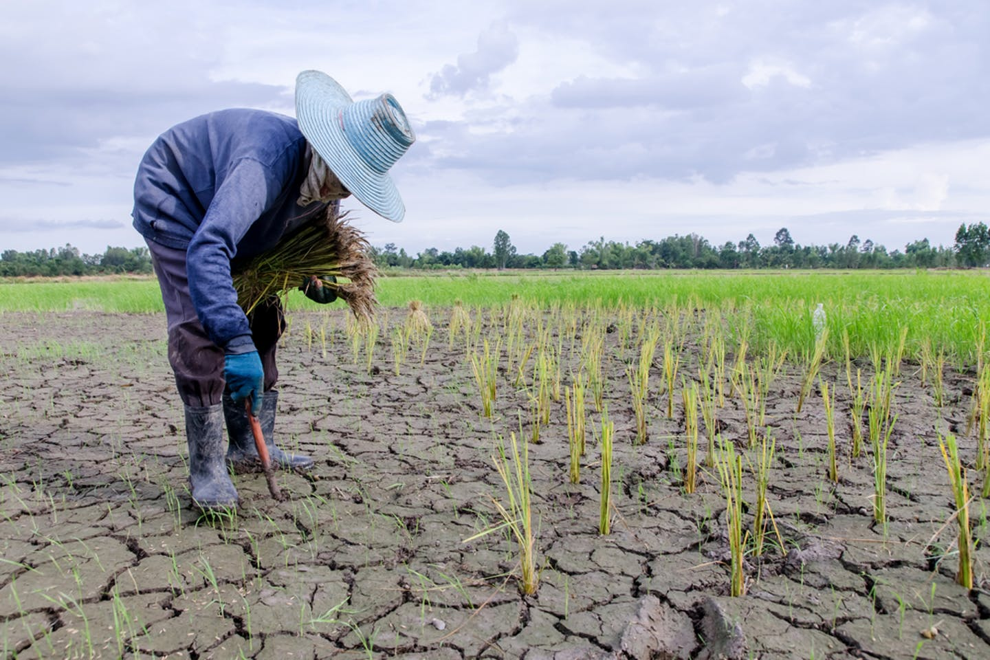 A farmer inspects his crops in a drought-stricken farm land.