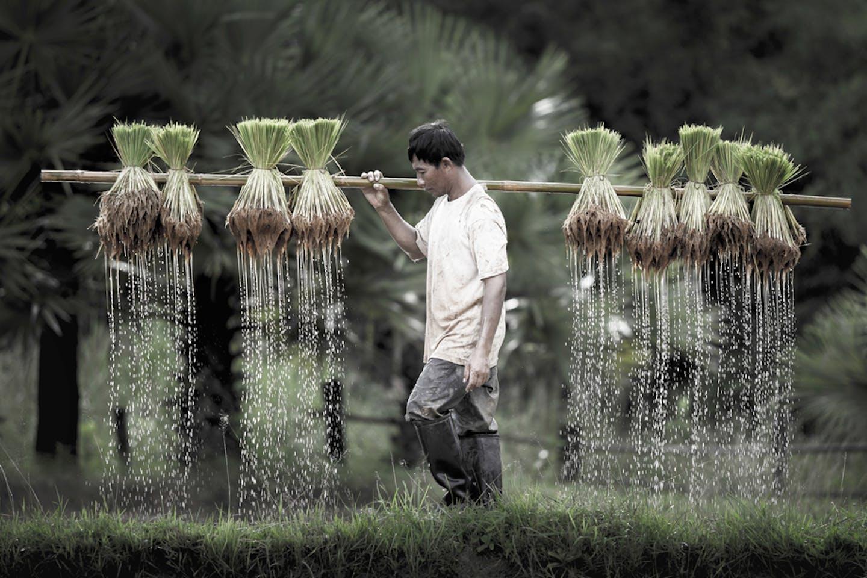 agri climate rice