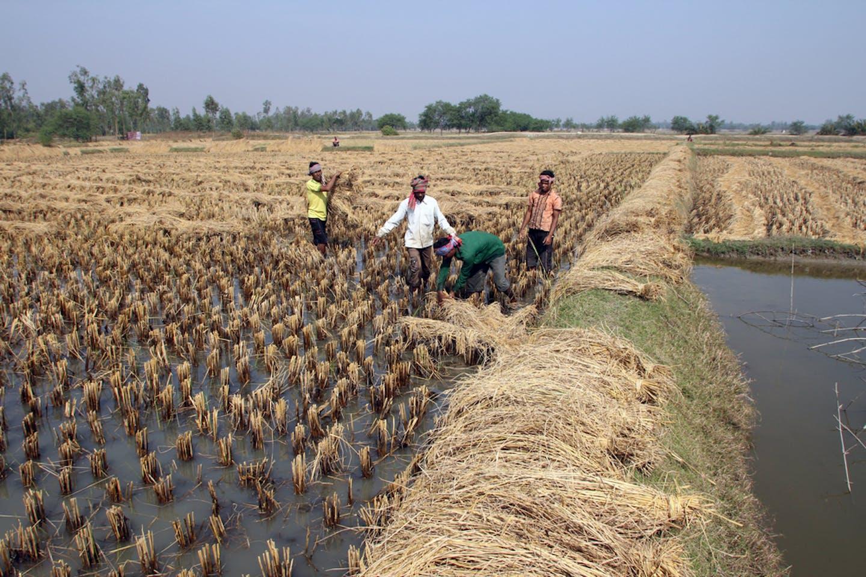 rice harvest bengal