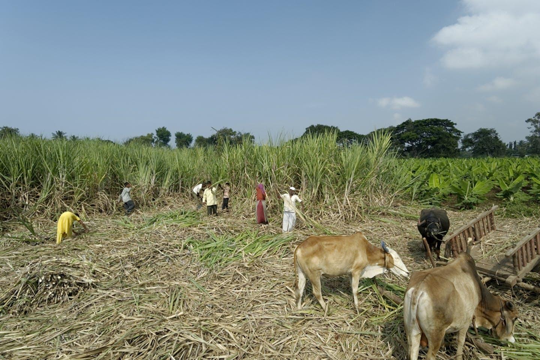india sugarcane