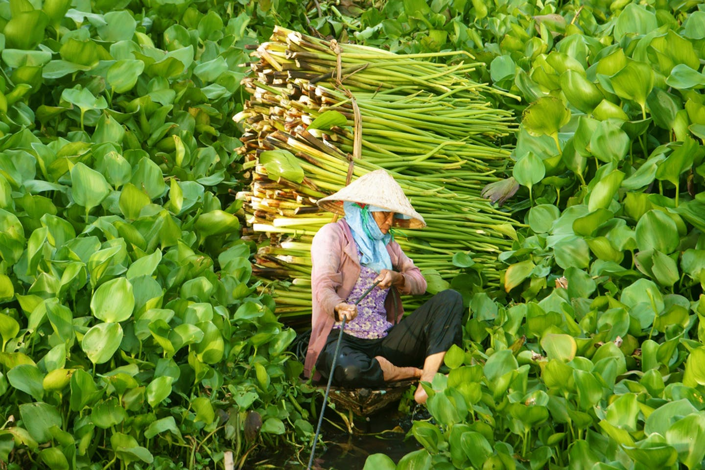 woman harvests water hyacinth