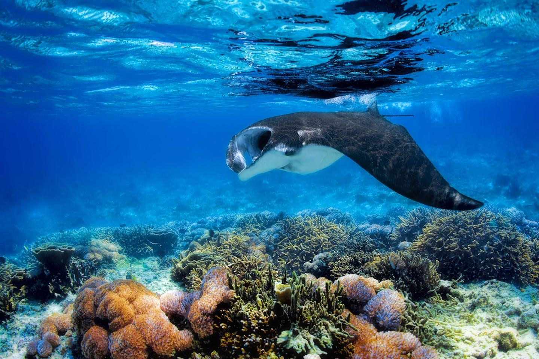 manta ray komodo corals