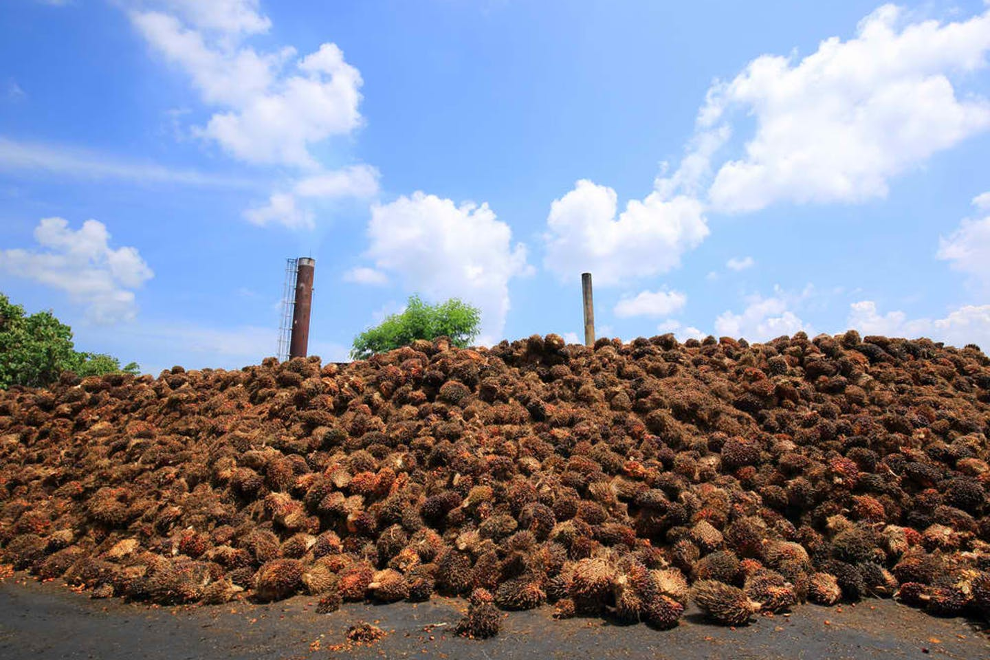 palm oil fruit bunches fodder