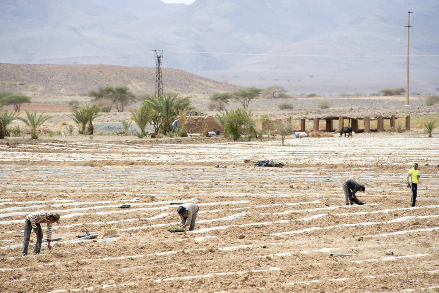 morocco irrigated field
