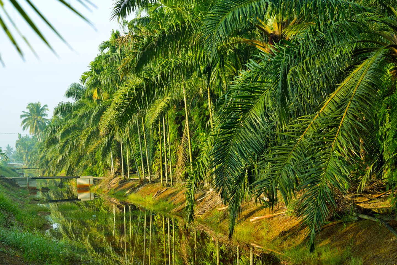 palm oil plantation sbh my