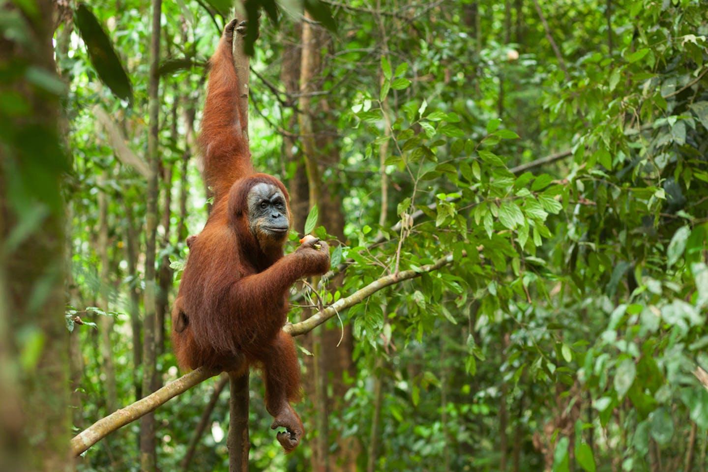 orang utan indonesia rainforest swinging