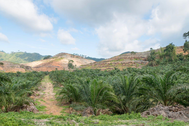 palm oil plantation deforest